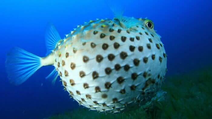 Balon Balığını Sakın Yemeyin