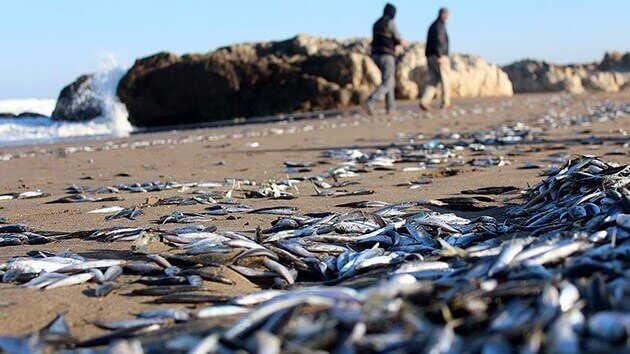 Kocaeli'De Soğuktan Şoka Giren Balıklar Kıyıya Vurdu