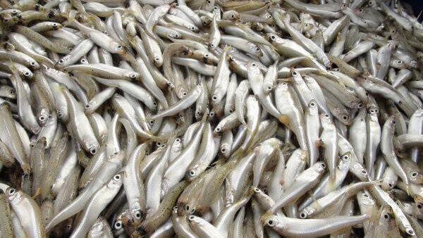Gümüş Balığı Nasıl Tutulur?