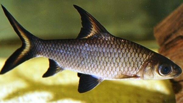 Kristal Köpek Balığı