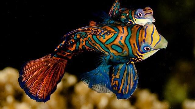 Mandalina Balığı