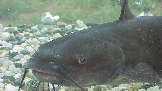 Yayın Balığı Tarifi