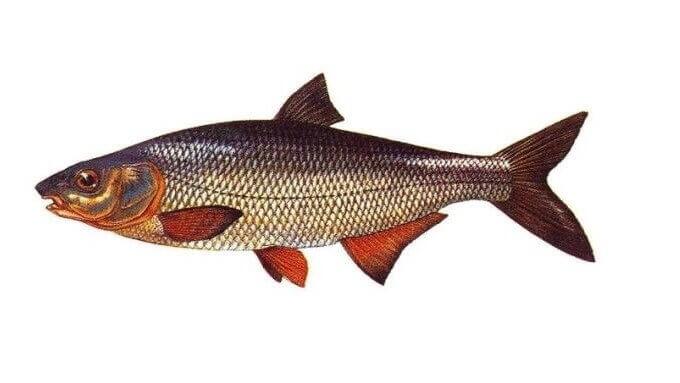 Eğrez Balığı