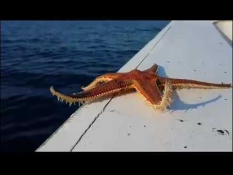 Deniz Yıldızı Tekneden Kaçıyor