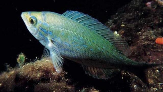İzmarit (Menekşe) Balığı Nasıl Yakalanır?