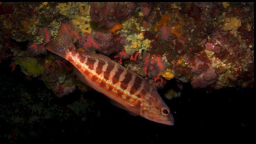 Hani Balığı