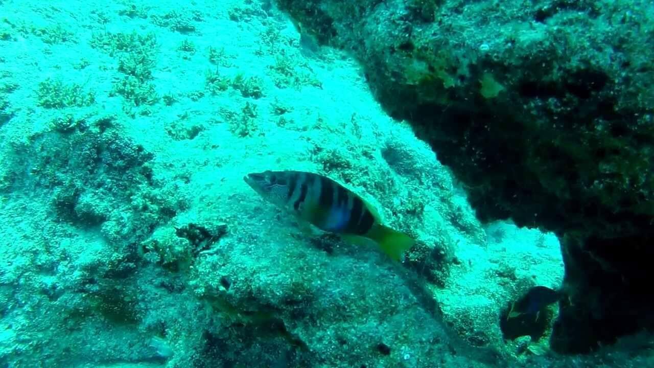 Lapin Balığı