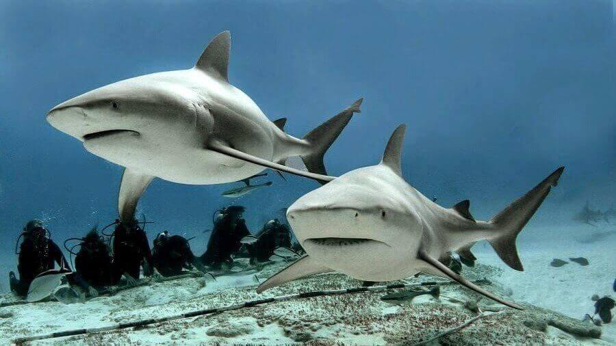 Camgöz Köpekbalığı Yenir Mi?