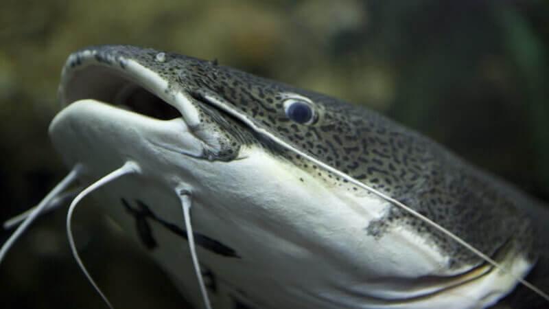 Yayın Balığı Nasıl Yakalanır?