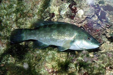 Lapin Balığı Yenir Mi?